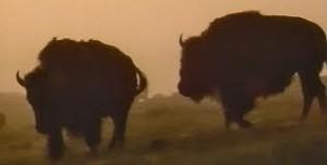 2runningbuffalo